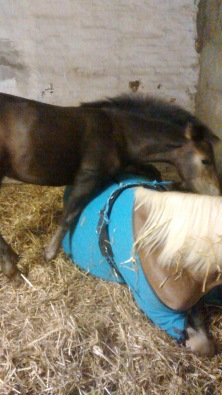 Kurz bevor Famara in die Klinik kam, lag sie mit fast 41 Fieber in der Box und ließ sich auch nicht mehr vom Fohlen zum aufstehen bringen