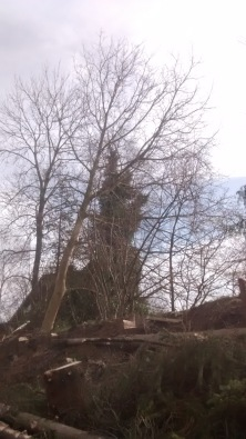 ...hier wurde dann erkannt, dass der Baum sehr schief steht. Der Wallnussbaum musste leider auch weichen