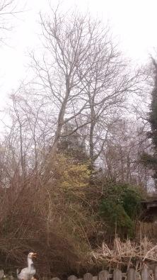 Hier ist der Wallnussbaum noch gut versteckt...